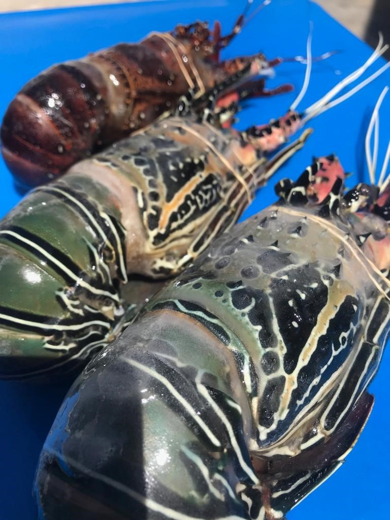 Lobsters from our factory in Kenya