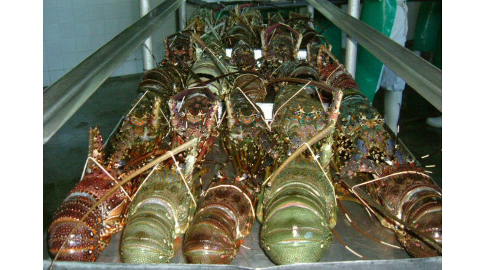raw lobsters from Kenya